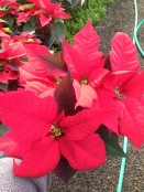 New variety: 'Christmas Day'