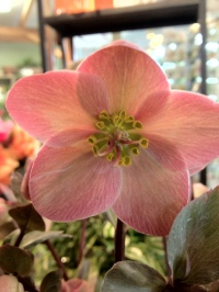 hardy 'pink frost' hellebore.